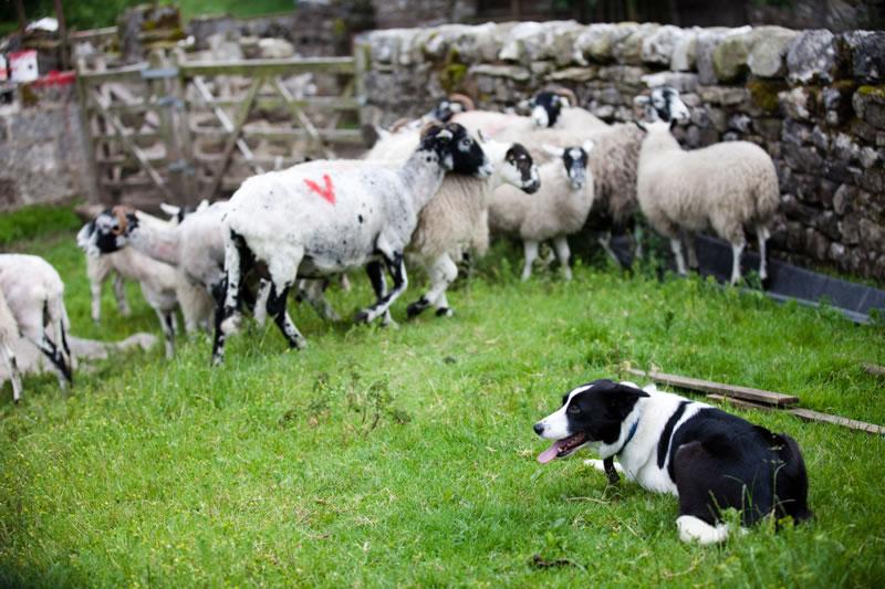 Sheep-and-dog